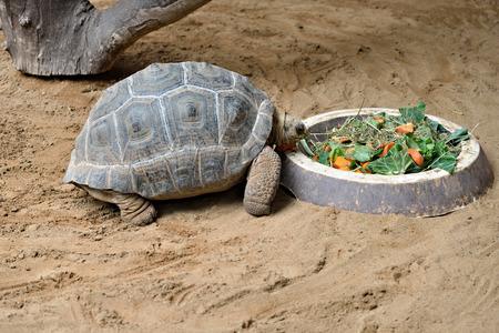 A feeding tortoise in zoo Gran Canaria photo