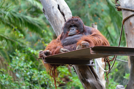 utang: Resting orangutan in zoo, Gran Canaria, Spain