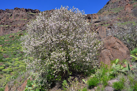 Alone blooming almond tree in Gran Canaria, Spain photo