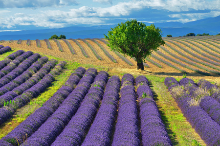 Stunning landscape with lavender field and big treet  Plateau of Valensole, Provence, France