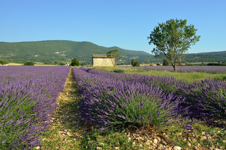 lavandula angustifolia: Stunning landscape with lavender field  Plateau of Sault, Provence, France Stock Photo