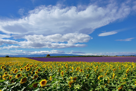 lavandula angustifolia: Stunning rural landscape with sunflower and lavender field  Plateau of Valensole, Provence, France