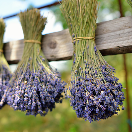 Bunches of lavender flowers on a wooden fence outdoor  Provence, France