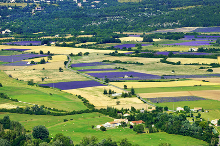 Provence rural landscape  Lavender field and farmhouses near village of Sault