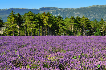 lavandula angustifolia: Stunning landscape with lavender field and pine forest on background of Alpes foothill at evening  Plateau of Valensole, Provence, France  Stock Photo