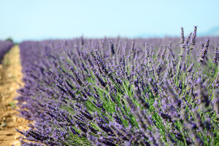 lavanda: Lavender flowers  Bunch of scented flowers in the lavanda fields of the French Provence