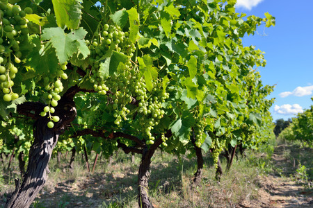 Vineyards in Vaucluse, Provence, France photo