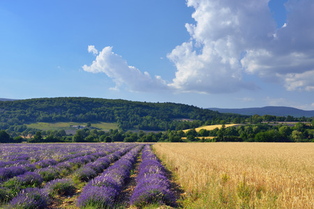 lavandula angustifolia: Stunning landscape with wheat and lavender field. Plateau of Sault, Provence, France