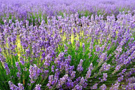lavandula angustifolia: Stunning landscape with lavender field. Plateau of Valensole, Provence, France.