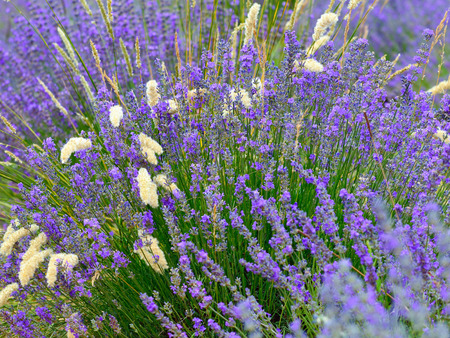 plateau of flowers: Lavender flowers natural background. Plateau of Sault, Provence, France. Small depht of field Stock Photo