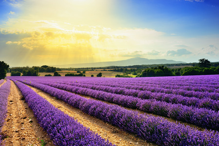 lavandula angustifolia: Stunning landscape with lavender field at sunset. Plateau of Sauilt, Provence, France