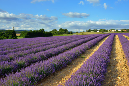 lavandula angustifolia: Stunning landscape with lavender field  at sunset.  Provence, France