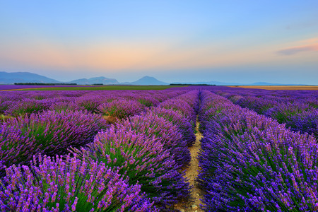 Stunning landscape with lavender field at sunset. Plateau of Valensole, Provence, France Imagens - 33884181