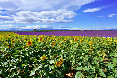 lavandula angustifolia: Stunning rural landscape with sunflower and lavender field. Plateau of Valensole, Provence, France