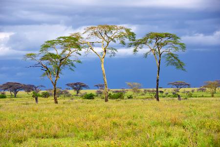 アフリカのサバンナおよび 3 本の木、タンザニアのセレンゲティで雨の日 写真素材