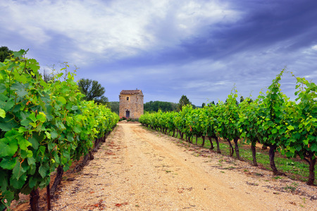 vaucluse: Vineyards in Vaucluse at sunset time, Provence, France