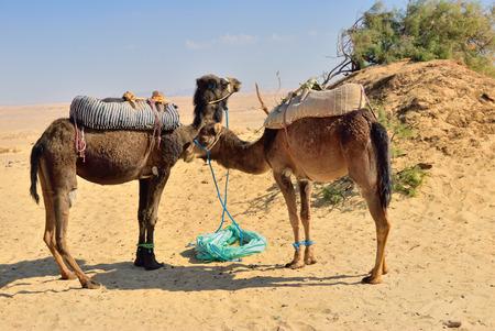 desierto del sahara: Dos camellos en el desierto del Sahara, Egipto Foto de archivo