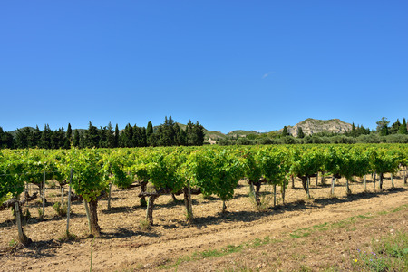 Vineyards in Vaucluse on a sunny day, Provence, France
