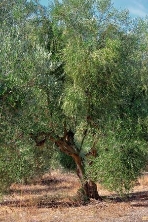 messinia: Olive tree under bright sunlight. Kalamata, Messinia, Greece Stock Photo