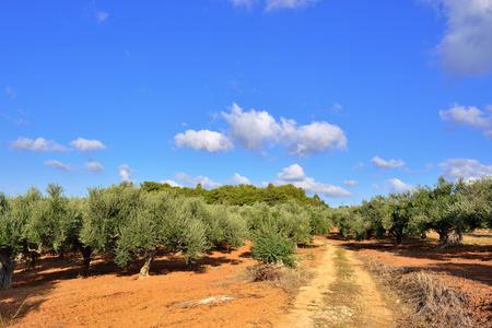 messinia: Dirt road among olive trees under bright sunlight. Kalamata, Messinia, Greece Stock Photo