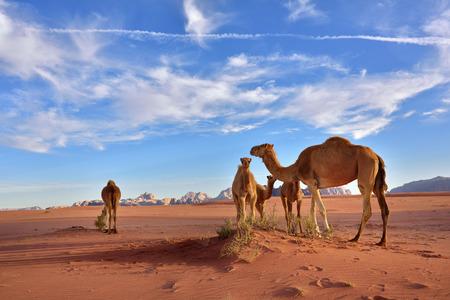 animales del desierto: Paisaje con una familia camellos en el desierto de Wadi Rum en la puesta del sol, Jordania Foto de archivo