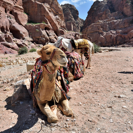 lost city: Camel and donkey in Petra lost city in Jordan. Famous UNESCO heritage site Stock Photo