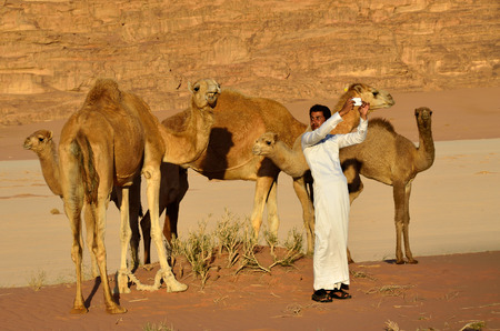 craze: JORDAN - APR 2, 2015: Unidentified jordanian man makes selfie with a camels in Wadi Rum desert at sunset. Selfie is a craze, which gripped the whole World