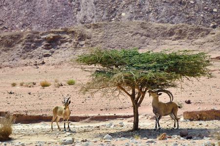 desierto: Cabras salvajes en theTimna parque desierto de Negev Israel