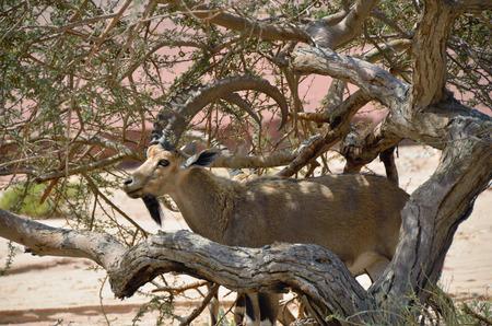 timna: Wild goat in theTimna park Negev desert Israel Stock Photo