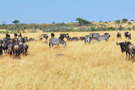 wildebeest: African landscape with antelopes wildebeest and zebras, Masai Mara, Kenya
