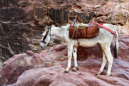 lost city: Donkey in Petra, lost city in Jordan. Famous UNESCO heritage site