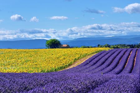 lavanda: Impresionante paisaje rural con campo de lavanda, campo de girasol y antigua casa de campo en el fondo. Meseta de Valensole, Provence, Francia
