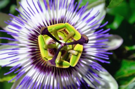 fetid: Fetid passionflower, Scarletfruit passionflower, Stinking passionflower Passiflora foetida. Small depth of field