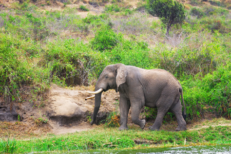 white nile: Elefante africano adulto en la orilla del r�o Nilo Blanco. Murchison cae parque nacional, Uganda Editorial
