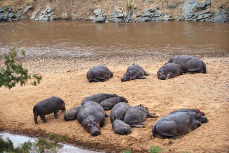 sandbank: Hippo school has a rest on a sandbank of the Mara river, Masai Mara, Kenya