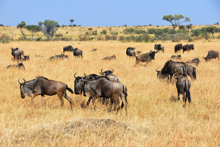 african wildebeest: Beautiful african landscape with wildebeest antelopes in Masai Mara, Kenya at morning time.