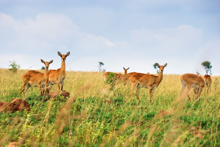 queen elizabeth: Female antelopes uganda race kob in the Queen Elizabeth national park at dawn, Uganda