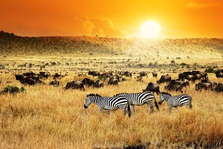 Afrikaanse landschap. Kudde zebra's en gnoes antilopen bij zonsondergang, Kenia