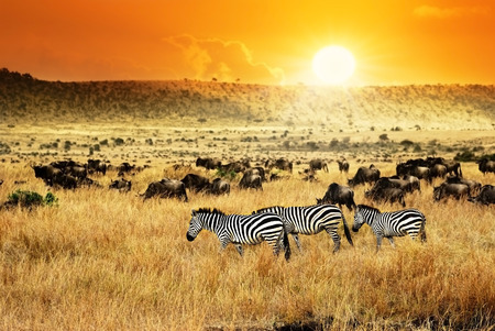 African landscape. Zebras herd and antelopes wildebeest at sunset, Kenya