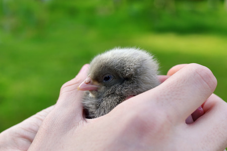 dearness: Little chick in hands on a green background