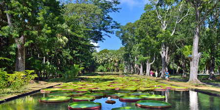 amazonian: PAMPLEMOUSESS, MAURITIUS - APR 4, 2013: Pond with giant amazonian lily in the Pamplemousess botanical Gardens in Mauritius. Very popular place for rest among local people