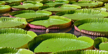 botanical gardens: Giant amazonian lily in water at the Pamplemousess botanical Gardens in Mauritius. Victoria amazonica, Victoria regia