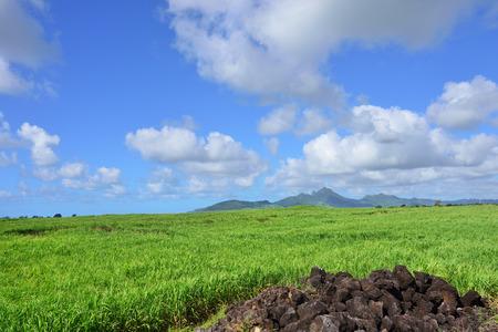 sugarcane: Beautiful landscape. Bright green sugarcane plantation on tropical island of Mauritius