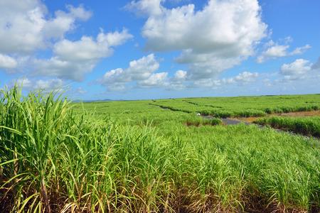 sugarcane: Sugarcane plantation on tropical island of Mauritius Stock Photo