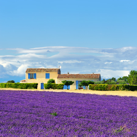 lavender: Stunning landscape with lavender field and farmhouse on background. Plateau of Valensole, Provence, France. Focus on lavender field
