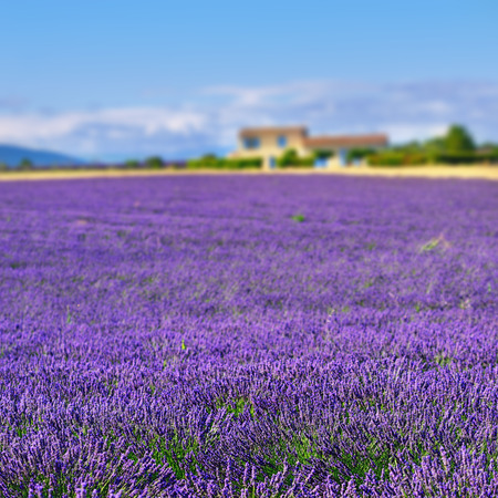lavandula angustifolia: Stunning landscape with lavender field and farmhouse on background. Plateau of Valensole, Provence, France. Focus on the foreground lavender field