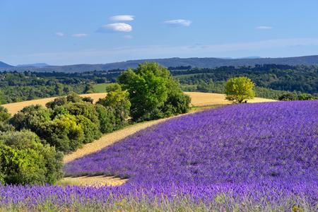 espliego: Impresionante paisaje con campo de lavanda en la tarde. Meseta de Valensole, Provence, Francia