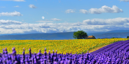 Stunning rural landscape with lavender field, sunflower field and old farmhouse on background at evening time. Plateau of Valensole, Provence, France Stock Photo