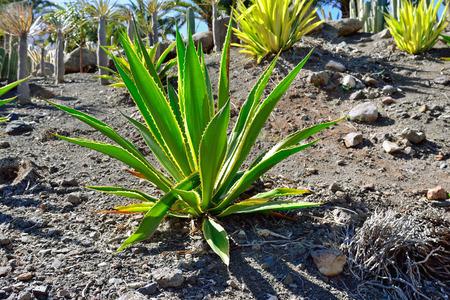 americana: Agave americana aurea-marginata in the beautiful tropical cactus garden, Gran Canaria. Spain Stock Photo
