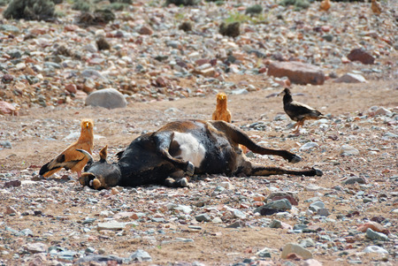 detriment: Corpse of the dead cow on the ground surrounded by vultures. Socotra island, Yemen